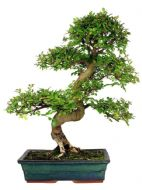 Chinese Elm (Ulmus Parfiflora) 10 Fresh Bonsai Seeds